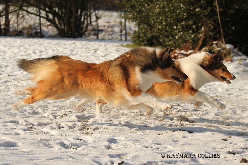 Amerikanischer Collie rennt